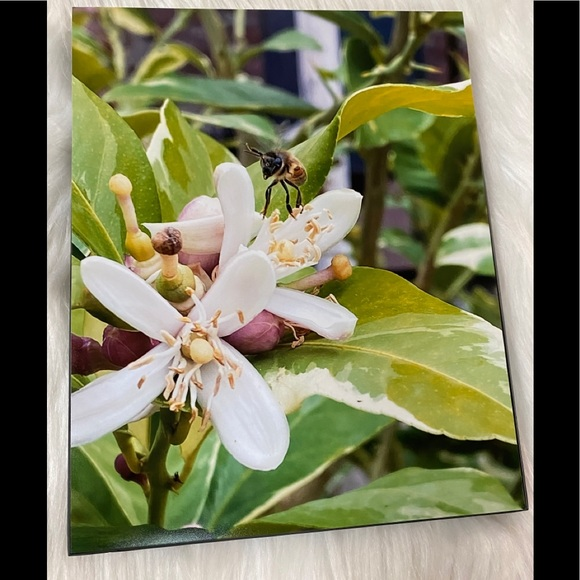 8x10 Picture of a Bee on Lemon Blooms